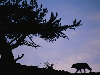 Silhouetted Wolf in Yellowstone National Park Lmina fotogrfica