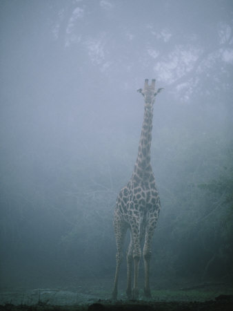 A Giraffe Stands in the Early Morning Mist Photographic Print