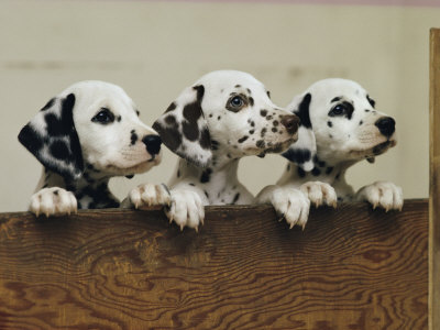 Three Inquisitive Dalmatian Puppies Peeking over a Board Photographic Print by Joseph H. Bailey