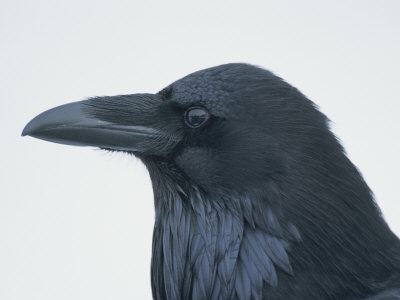 A Close View of the Head of a Raven, Corvus Species Photographic Print by Tom Murphy