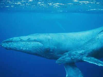 An Adult and Juvenile Humpback Whale Glide Through the Water Photographic Print by Wolcott Henry