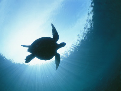 A Silhouetted View of an Endangered Loggerhead Sea Turtle Photographic Print by Nick Caloyianis