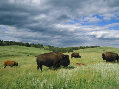 Bison and Their Calves Graze in Custer State Park Photographic Print