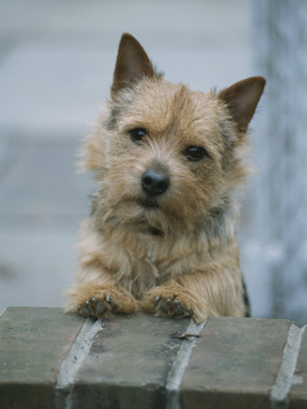 A Norwich Terrier Looks over a Brick Wall Photographic Print by Robin Siegel