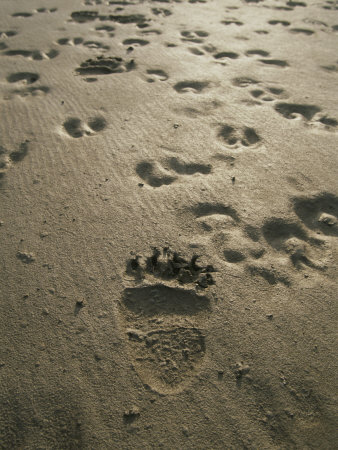 Grizzly Bear and Caribou Tracks, Firth River, Yukon Territory Photographic Print by Michael Melford