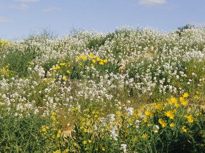 Flores silvestres goodenia y flores amarillas en duna - Tipos de flores silvestres ...