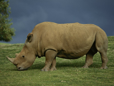 A Southern White Rhino at the San Diego Wild Animal Park Photographic Print