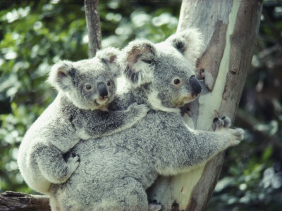 A Koala Bear Hugs a Tree While Her Baby Clings to Her Back ...