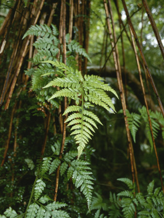 Wet Ferns in a Rain Forest Along the Hollyford Track Photographic Print by Todd Gipstein