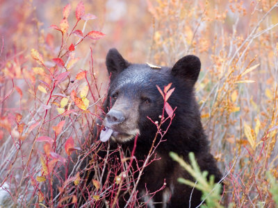 A Black Bear Eats a Blueberry While Adding Weight for Hibernation Photographic Print by Taylor S. Kennedy