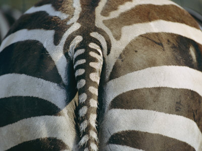 Close View of a Grants Zebras Rear End Lámina fotográfica