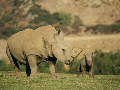 A Captive Southern White Rhinoceros Guards its Young Photographic Print by Roy Toft