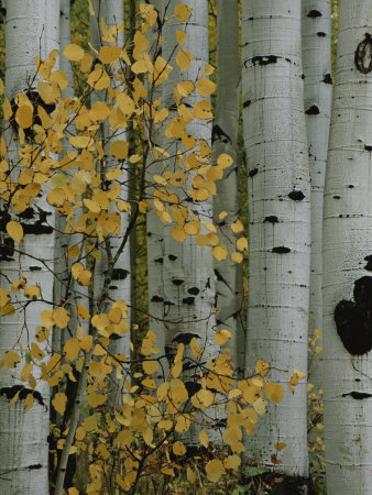 Autumn Foliage and Tree Trunks of Quaking Aspen Trees in the Crested Butte Area of Colorado Photographic Print