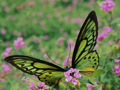 A Captive Birdwing Butterfly Lands on a Pink Flower Photographic Print by Roy Toft