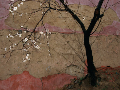 Plum Tree against a Colorful Temple Wall Fotografiskt tryck