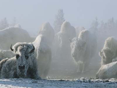 A Frost-Covered Herd of American Bison Brave the Freezing Winter Weather Photographic Print by Tom Murphy