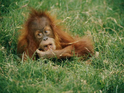 A Captive Juvenile Orangutan Sits in the Tall Grass Photographic Print by Roy Toft