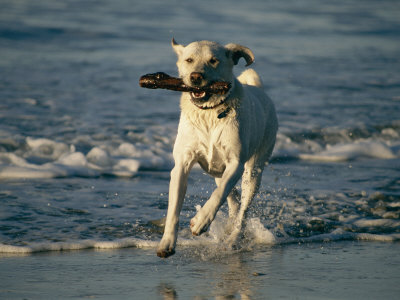 A Labrador Retriever Runs Along the Shoreline with a Stick in its Mouth Photographic Print by Roy Toft