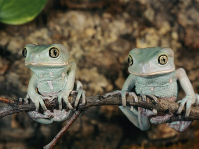 Captive Waxy Monkey Tree Frogs on a Small Branch Photographic Print by Roy Toft