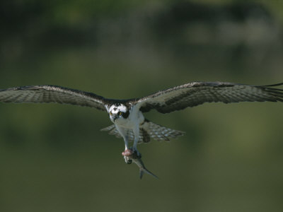 An Osprey in Flight with a Catch in its Talons Photographic Print by Roy Toft