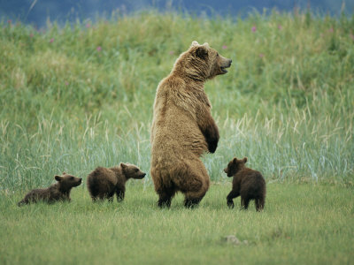 An Alaskan Brown Bear Stands up to Look out for Any Danger to Her Three Cubs Photographic Print by Roy Toft