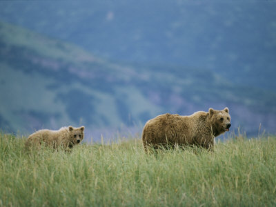 A Juvenile Alaskan Brown Bear Follows its Mother Photographic Print by Roy Toft