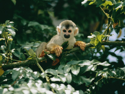 A Squirrel Monkey Hides in the Brush Photographic Print by Roy Toft