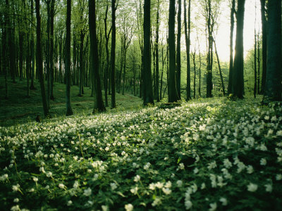 Spring Forest View with Anemones, Rugen Island in the Baltic Sea Lámina fotográfica