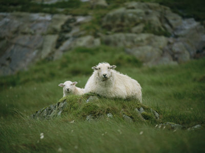 A Ewe and Her Lamb Resting on a Small Mound Photographic Print