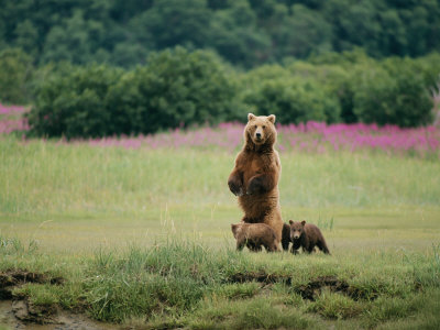 An Alaskan Brown Bear Guards Her Cubs Photographic Print by Roy Toft