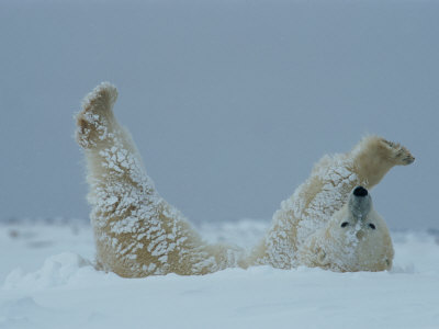 A Polar Bear (Ursus Maritimus) Rolls Through the Snow Stampa fotografica di Norbert Rosing