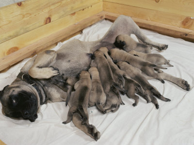 Mastiff Puppies on Good View Of About A Dozen Mastiff Puppies Feeding From Their Mother