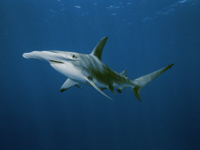 Great Hammerhead Shark Photographic Print by Brian J. Skerry