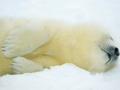 Close View of Sleeping Two-Day-Old Harp Seal Pup Lmina fotogrfica