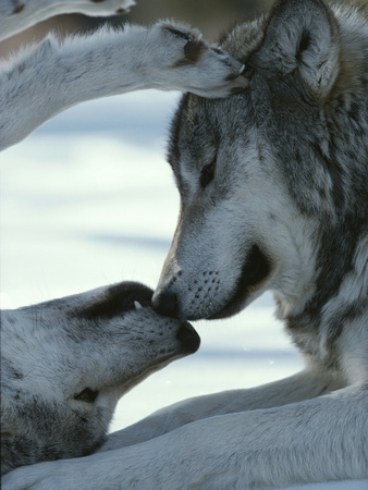 Two Gray Wolves Touch Noses during a Tender Moment Photographic Print by Jim And Jamie Dutcher