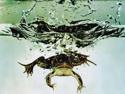 Frog Jumping Into an Aquarium Photographic Print