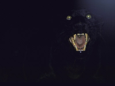 Dramatic of Black Panther, Camouflaged by Darkness, with Eyes and Open Mouth Visible Photographic Print by John Dominis