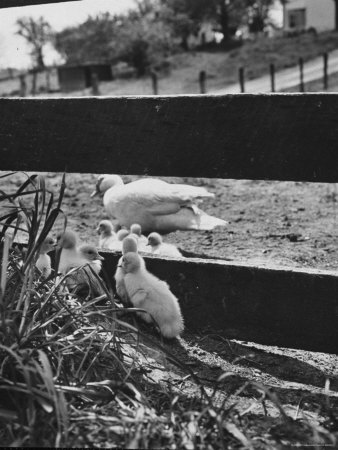 Ducklings Living on a Farm Photographic Print by Ed Clark