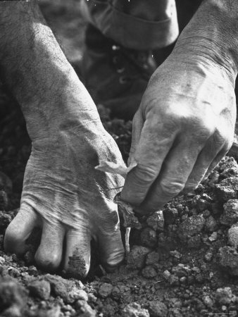 Farmer's Strong, Work Toughened Hands Planting in the Garden Photographic Print by Ed Clark