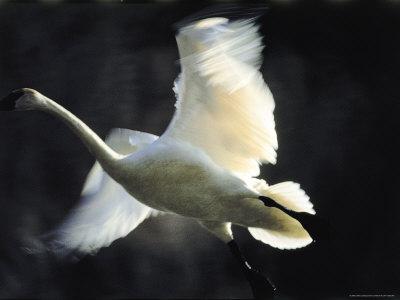 trumpeter swan flying. Trumpeter Swan in Flight