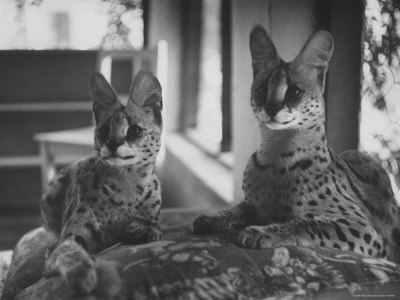 Pair of Servals, Pets of a Big Tobacco Farm Owner Photographic Print by James Burke