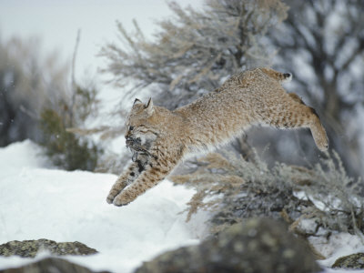 A Bobcat Leaps with a Horned Lark in its Mouth Photographic Print by Michael S. Quinton