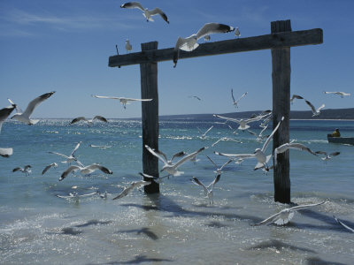 Sea Gulls Hover over Surf Around a Piling Photographic Print by Sam Abell