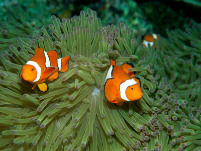 Western Clown Anemonefish Swim Among the Tentacles of a Magnificent Sea Anemone Lámina fotográfica