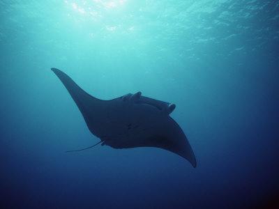 Manta Ray, Yap Islands, Caroline Islands, Micronesia Photographic Print by Joe Stancampiano