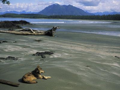 Gray Wolf on Beach Photographic Print by Joel Sartore