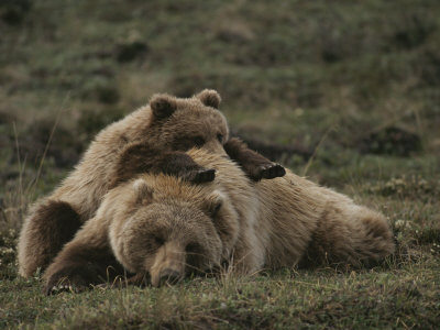 A Grizzly Mother and Her Cub Lounge Together in a Field Photographic Print