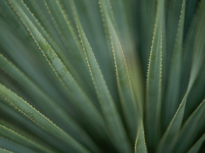 Close View of the Leaves of a Sotol Agave Plant Photographic Print by Annie Griffiths Belt