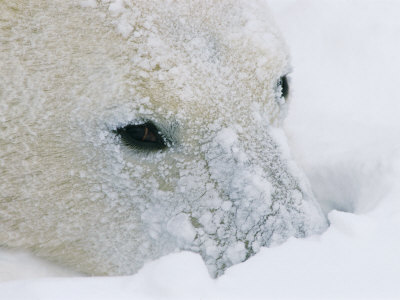 A close view of a polar bears snow-encrusted  face Photographie
