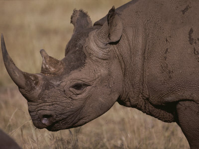 A Close View of the Head of a White Rhinoceros Photographic Print